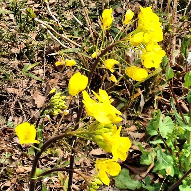 麓の花々咲き出しています^_^ #like #春