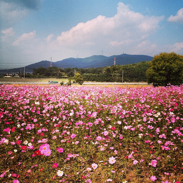 #コスモス #秋桜 #イマソラ #空 #雲 #like