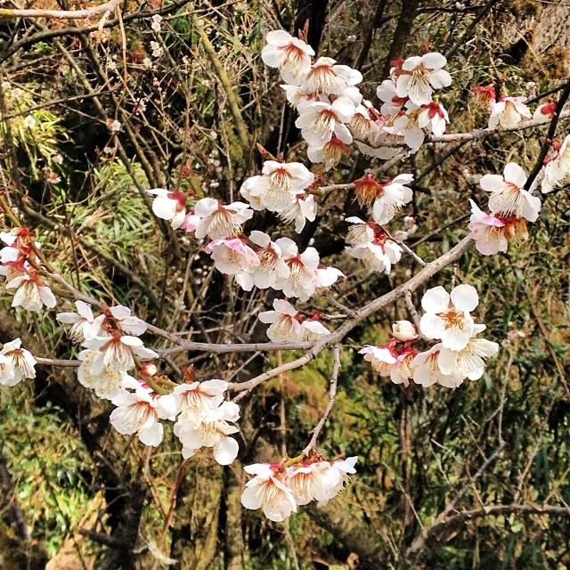 咲き始めています^_^ #like