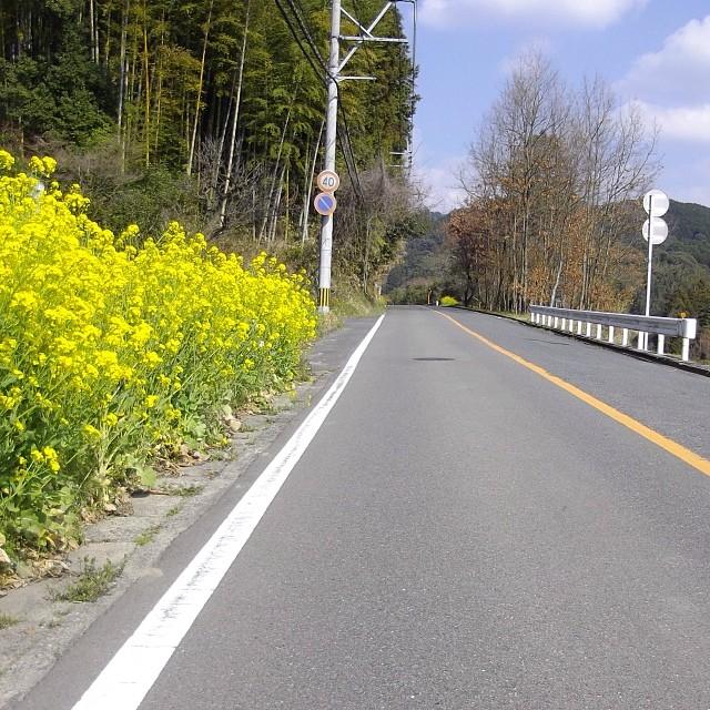 三箇山の菜の花 #like