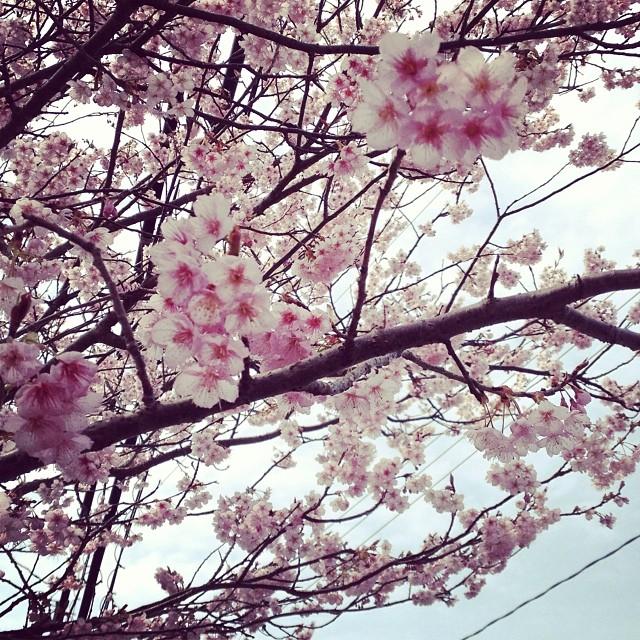 綺麗だ^_^ #like #春
